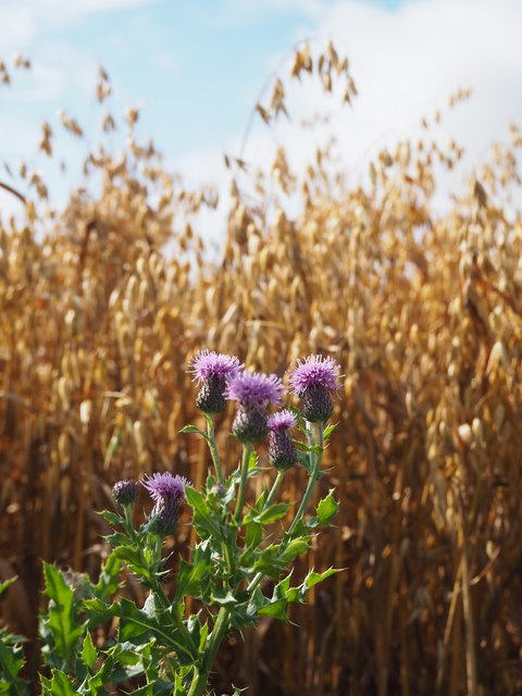 Thistles beside a Field of Oats at Birnieknowes