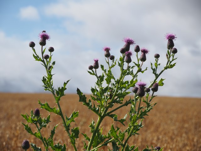 Thistles growing at the Edge of a Field of Oats at Birnieknowes