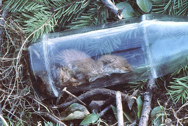 Weasel in discarded bottle, nr Acton Turville, Gloucestershire 1986