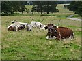 SJ9922 : Longhorn cattle by Philip Halling