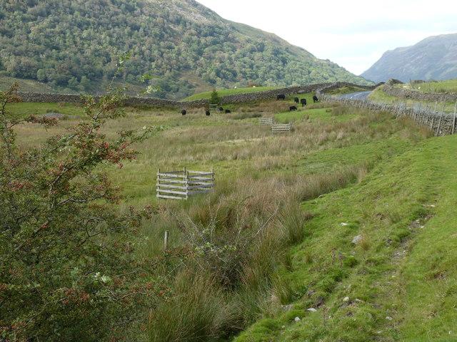 Black cattle in the moor