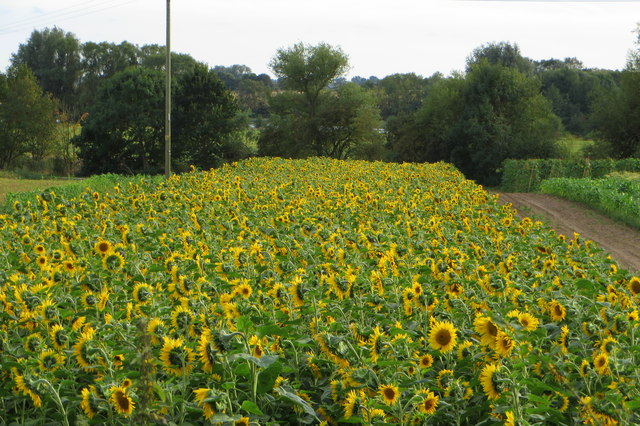 Market Garden sunflowers
