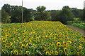 TL0159 : Market Garden sunflowers by Philip Jeffrey