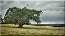 SE7466 : Leaning oak in a sloping field by Mick Garratt
