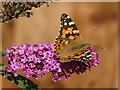 ST3086 : Painted Lady butterfly on Buddleia by Robin Drayton