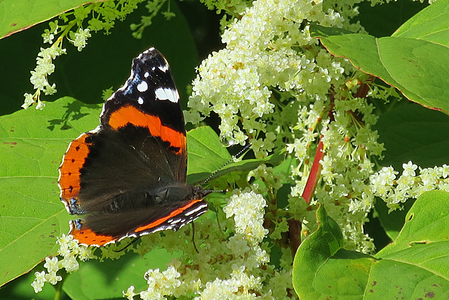 Red Admiral on Japanese Knotweed