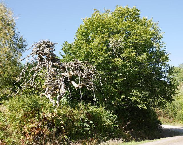Camperdown elm, Rosehaugh