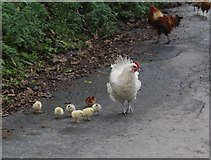 SC2270 : Hen and a pep of seven chicks by Richard Hoare