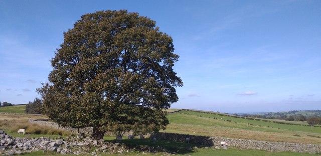 Lone tree Calebreck