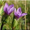 NJ2967 : Field Gentian (Gentianella campestris) by Anne Burgess