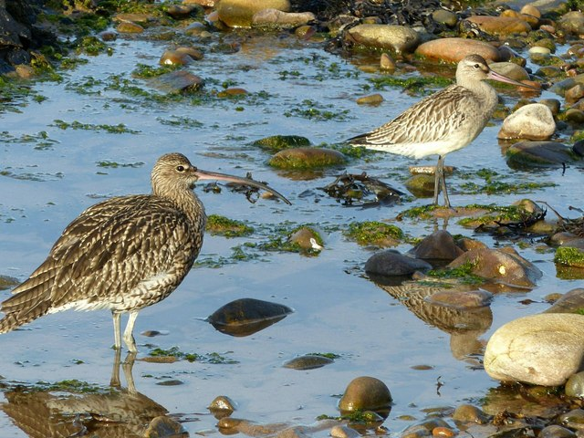 Curlew and Bar-Tailed Godwit in winter plumage, Findochty