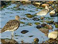 NJ4668 : Curlew and Bar-Tailed Godwit in winter plumage, Findochty by Alan Murray-Rust