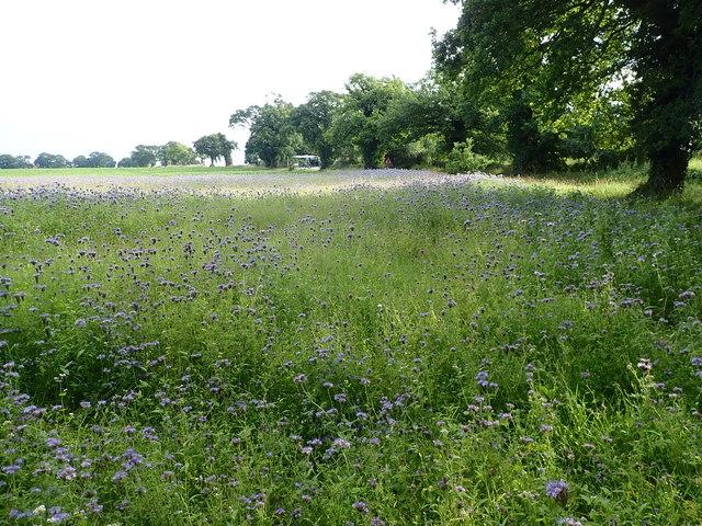 A purple patch near Reedham