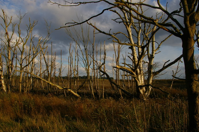 Dead trees at the edge of the former Hazlewood Marshes