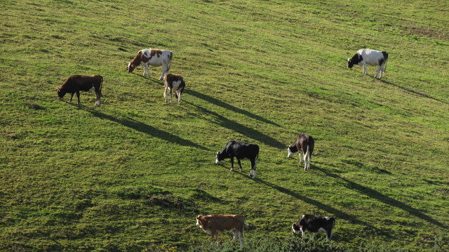 Cattle near Smuggler's Inn