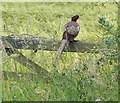 SK9217 : Pheasant on a gate along New Road by Mat Fascione