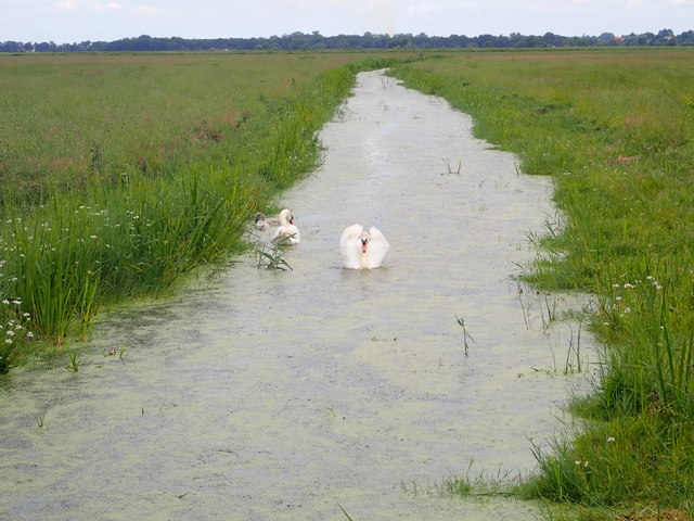 Swan family on the Halvergate Marshes