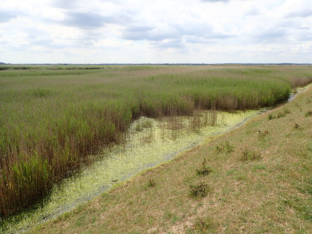 Reed beds in the River Yare