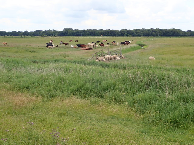 Cattle and sheep grazing on Reedham Marshes
