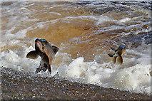 NT4427 : Jumping salmon at Murray's Cauld near Selkirk by Walter Baxter