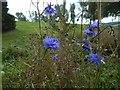 NS3974 : Cornflower by Lairich Rig