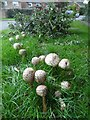 SP8700 : Shaggy Parasol fungus in Lodge Lane, Prestwood by David Hillas