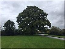 SO8716 : Mighty Oak by Colin Manton