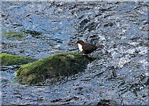 SS7249 : Lynmouth: a dipper in the East Lyn River by Martin Tester