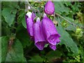 SO7642 : Foxglove flowers by Philip Halling