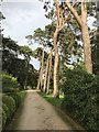TF6928 : Trees on Church Walk, Sandringham by Richard Humphrey