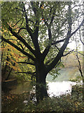 SK1789 : Tree by Ladybower Reservoir by don cload