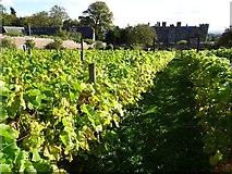 SO4465 : Vineyard at Croft Castle by Philip Halling
