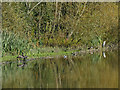 SE2708 : Birds alongside Cannon Hall lake by Stephen Craven