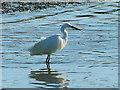 SH3568 : Little egret, Aberffraw, Anglesey by Robin Drayton