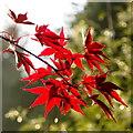 SO7119 : Acer palmatum 'Bloodgood' by Jonathan Billinger