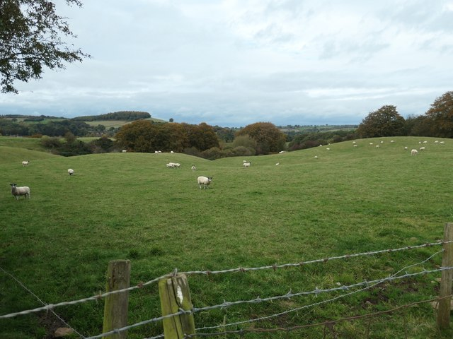 Sheep grazing east of Carrholme