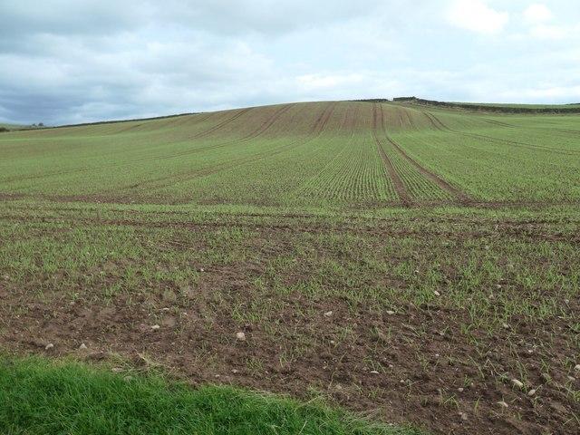 Greening field of winter cereals, Eden valley
