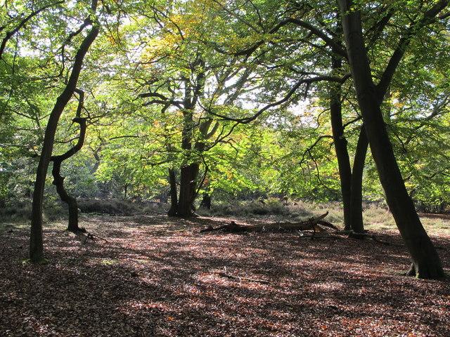 Burnham Beeches, start of autumn colour