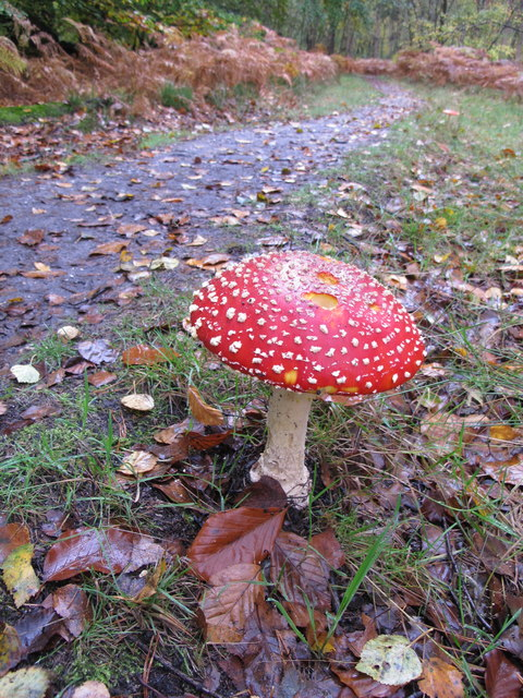 Fly agaric, Amanita muscaria, Egypt woods