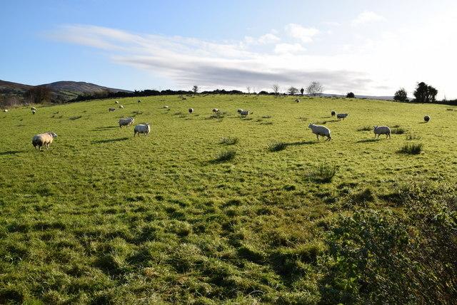 Sheep grazing at Ballynatubbrit by Kenneth  Allen