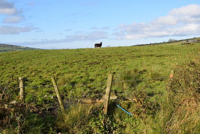 A lone sheep, Legnabraid by Kenneth  Allen