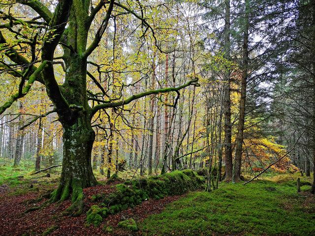 Beech tree in Bellton Wood