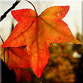 SO7119 : Liquidambar leaf by Jonathan Billinger
