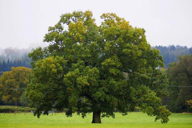 Fine oak tree