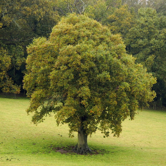Outlier Oak