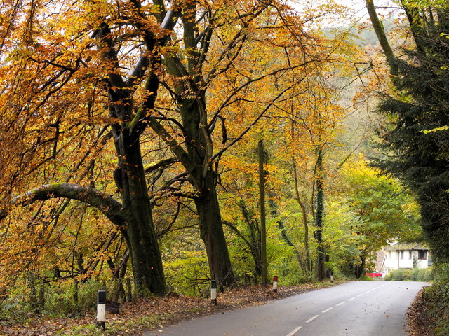 Beech trees by the A466