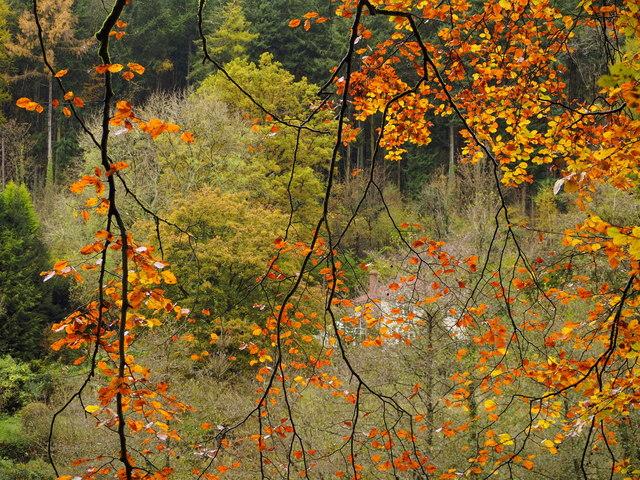 Through the beech boughs, 1