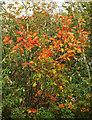 SX9066 : Oak leaves by Nightingale Park by Derek Harper