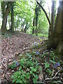 SP0012 : Bluebells by the path in Cocklar Plantation by Rod Allday
