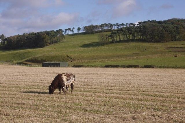 Bull on stubble